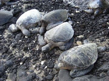 Honu-Hawaiian Sea Turtles are abundant on shore & in the water.