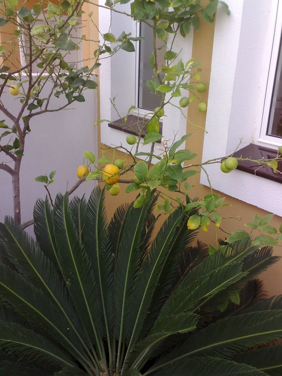 Lemons in the own garden
