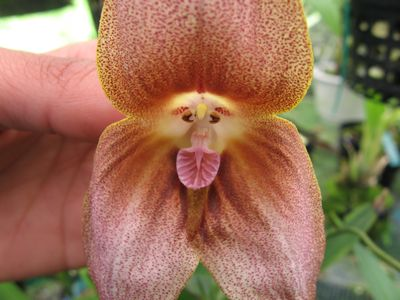 Monkey Face Dracula  Orchids
