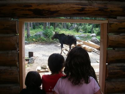A baby moose outside the cabin during construction.