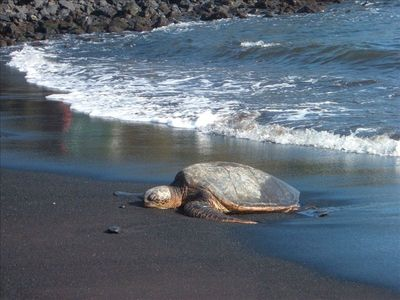 Naalehu house rental - Hawaiian Green Sea Turtle at Black Sands Beach 20 min away