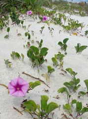 Daytona Beach house photo - Morning glories growing wild in the dunes . . .