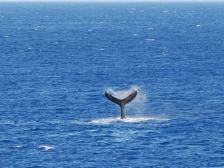 Milolii house photo - WHALE GOING DOWN ! THIS PICTURE TAKEN FROM THE LANAI.