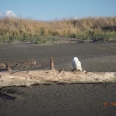Ocean Shores house photo - Lonely Snowy owl at Ocean Shores west beach.
