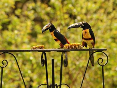 Aracari Toucans at one of our bird feeders, less than 10 feet from you!