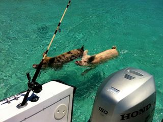 Great Exuma villa photo - Swimming pigs at Staniel Cay