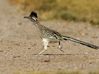 Sedona house photo - Occasional Roadrunners