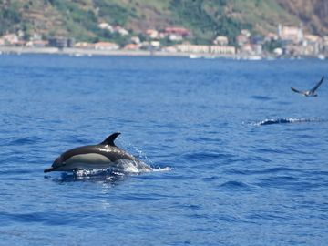 Dolphins passing the villa COPYRIGHT Ribeira Brava