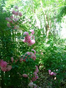 Roses bloom in season on the backyard's picket fence