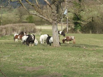 Shetland Ponies nearby in Little Woldford