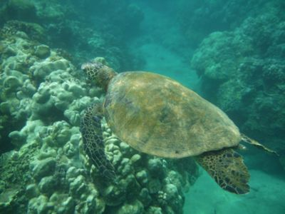 Turtle, Kamaole Beach 1