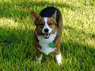 "Bandera cabin rental - ""Mikey"" is our personable Corgi who thinks he runs the ranch!"