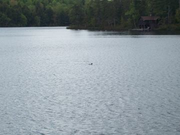 Loon in lake