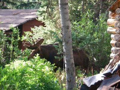 Bull moose in our backyard during construction.