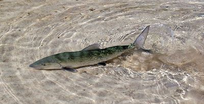 Backcounty fishing for Bonefish to Offshore Fishing for Sail - Pat Ford Photo