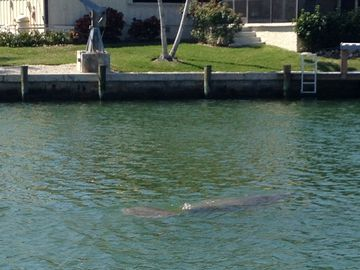 A manatee taking her daily swim in the backyard