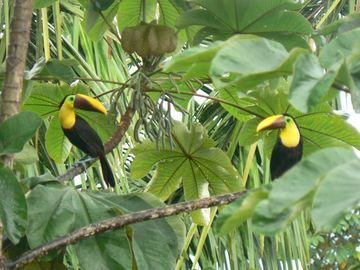 Our Beautiful Jungle Toucans..