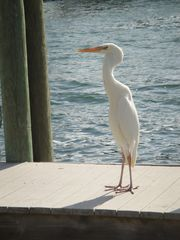 "Key Largo house photo - ""Freddie"" waiting to catch a fish from our dock."