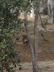 A group of wild turkeys as seen from your porch