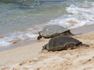 Haleiwa cottage photo - Sea turtles sunbathe on the beach every afternoon