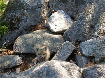 The Fox family makes its home in the rocks between the house and the shore.