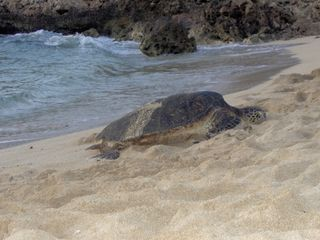 Makaha condo photo - Turtle on the beach