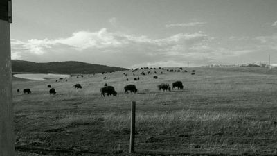 Buffalo herd that passed through Spring of 2012