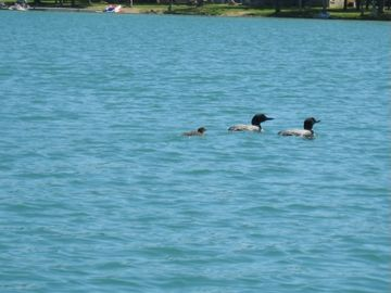 Family of loons.