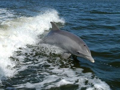 """Fungie"" the local resident Dingle Dolphin"