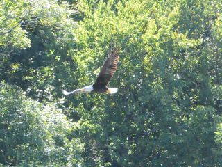 Gassville cabin photo - Eagle fishing - we have had as many as 5 fishing the river in front of the cabin