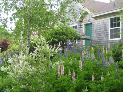 Your garden. White birches. Lupines and roses in abundance.