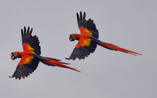 Ojochal villa photo - Scarlet Macaws