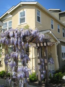 Villa Sonoma Wisteria In Bloom