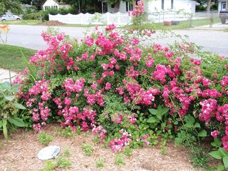 Cape May house photo - Front yard roses