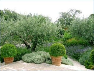 Gordes house photo - Garden with ancient olive tree and lavender.