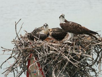 Osprey nest as viewed from a boat ride on lagoon.