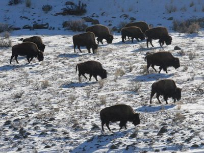 Gardiner house rental - View of bison herd grazing in Yellowstone National Park (taken from the deck)