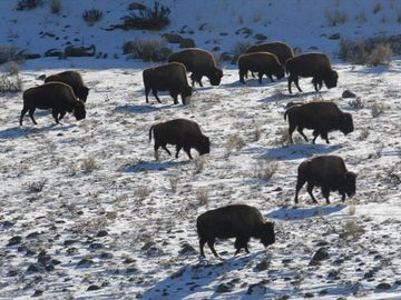 View of bison herd grazing in Yellowstone National Park (taken from the deck)