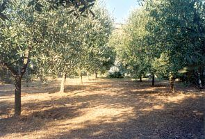 The olive grove in summer
