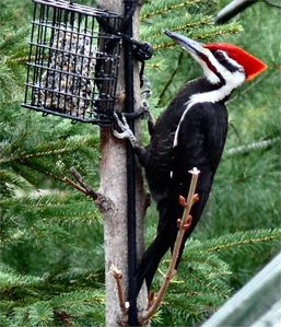 Lots of Pileated Woodpeckers