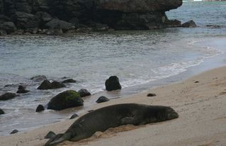 Haleiwa cottage photo - If you're lucky, you may see a monk seal