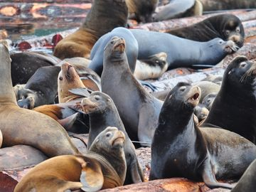 Our frequent visitors- sealions. Just come at the right season to see them!