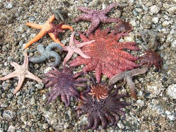 There are lots of varieties of Sea Stars nearby