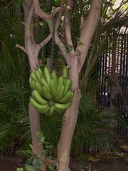 Honokowai townhome photo - Bananas growing at Makani Sands rental property. Guests eat when ripe!