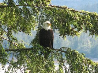 North Vancouver house photo - Eagles are a constant companion in the trees above