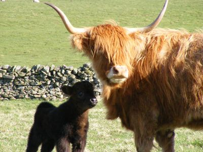 Pedigree Highland breeding Fold
