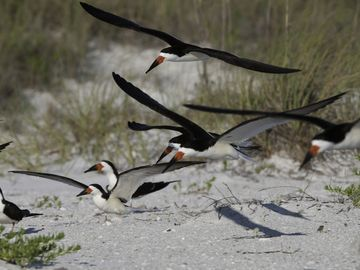 Skimmers are one of the many birds that make Whitney Beach a birder's paradise.