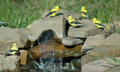 Goldfinches at the newest water garden.