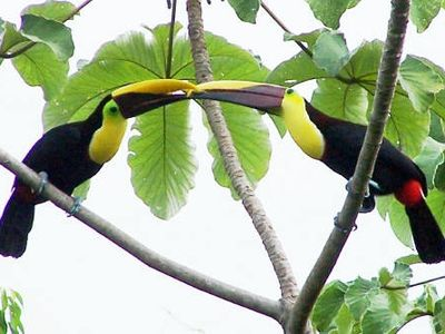Fluffy and Stuffy, a mated pair of toucans.