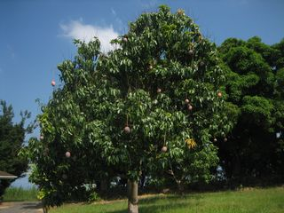 Kailua Kona house photo - Several of these Keitt mango trees.